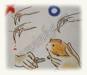 Как правильно подстричь когти морской свинки (картинки, инструкция) - msvinka.ru